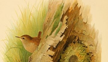 An dreoilín, the legend of the wren in Ireland